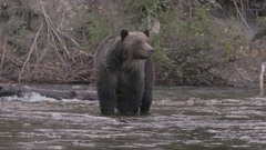 Moving Shot of Grizzly Bear in Salmon River Stock Footage