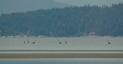 Birds next to the shore on Vancouver beach. Stock Footage