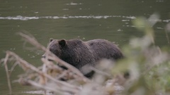 Grizzly Bear Walking in River Shot Behind Leaves Stock Footage