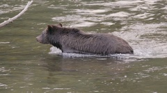Grizzly Bear Swimming with Current in River Stock Footage
