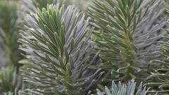 Euphorbia characias plant Stock Footage