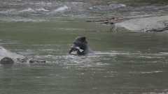 Grizzly Bear Catches a Salmon in River Stock Footage