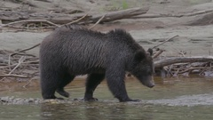 Grizzly Bear Drinking Water from Salmon River Stock Footage
