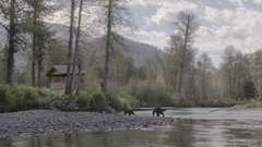 Mother Grizzly Bear and Cub Walking near tourist Stock Footage