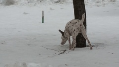 Dalmatians Dog on a winter walk Stock Footage