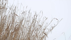 Cattail dry grass reeds on river in the snow winter landscape Russia Stock Footage