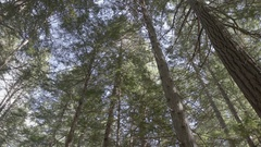 Tilt Down of Tall Pines in Great Bear Rainforest Stock Footage
