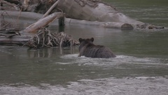 Grizzly Bear Hunting for Salmon in Rain Stock Footage