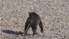 Grizzly Bear with Large Tape Worm Walking Stock Footage