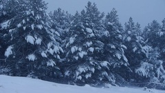 Winter scene with trees full of snow and snowing Stock Footage