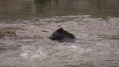 Grizzly Bear Shakes Off Water in River Stock Footage