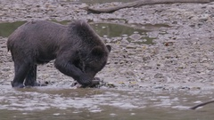 Bear Eating Salmon on Shore of River Stock Footage