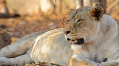 Lioness looks past camera and snarls Stock Footage