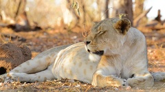 Lioness Moves Head - Almost Shake Stock Footage