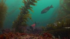 Mysterious underwater diving in the marine gardens of kelp and brown algae. Stock Footage
