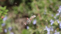 Banded garden spider  cracks down with the grasshopper. Part 2 Stock Footage