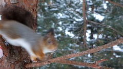 Squirrel carries seeds from feeder and eats them on a pine branch Stock Footage