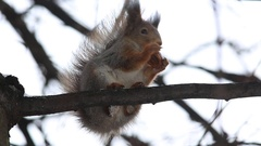 Red squirrel or Eurasian red squirrel sits on a branch and eats a nut Stock Footage