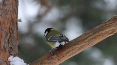 Great Tits  (Parus major) are jumping on pine branches Stock Footage