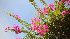 Bugaynvillea bush against the sky in the garden. First version Stock Footage