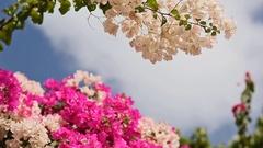 Bugaynvillea bush against the sky in the garden Stock Footage