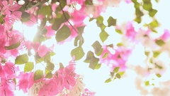 Bougainvillea flowers in the garden bush in bright rays sunshine. First version Stock Footage
