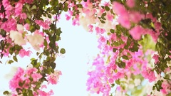 Bougainvillea floewrs bush against the sky in the garden. The sixth version Stock Footage