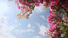 Bougainvillea floewrs bush against the sky in the garden. The fifth version Stock Footage