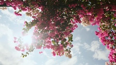 Bougainvillea floewrs bush against the sky in the garden. The fourth version Stock Footage