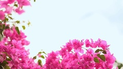 Bougainvillea flowers bush against the sky in the garden. The seventh version Stock Footage