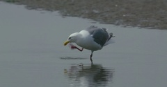 Bird standing in the water next to the shore, drinking some water. Stock Footage