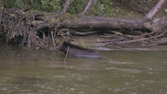 Grizzly Bear Swimming in Shallow Water in River Stock Footage