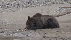 Grizzly Bear Eating Fish on Shore of River Stock Footage