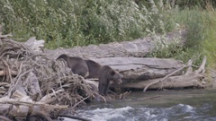 Grizzly Bears Moving on Driftwood by River Stock Footage