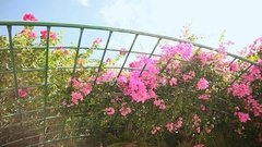 Bougainvillea floewrs bush against the sky in the garden. Hanging from lattice Stock Footage