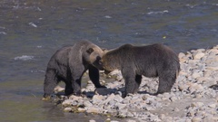 Grizzly Bears Nuzzling on Shore of River Stock Footage