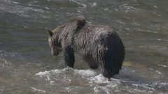Grizzly Bear Walking in River Looking for Salmon Stock Footage