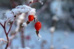 Rosehip berries covered with frost Stock Photos