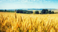 Golden wheat field at sunny day. Agricultural background Stock Footage