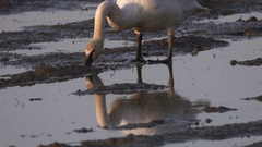 Swans, Trumpeter Swan Digging For Tubers Stock Footage