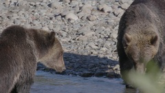 Close Up of Grizzly Bears Showing Teeth Stock Footage