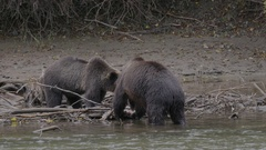 Grizzly Bears Eating Salmon on Branches in River Stock Footage