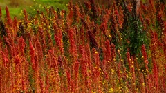 Quinoa field in andes of Peru Stock Footage