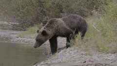 Grizzly Bear Walking Through Grass Stock Footage