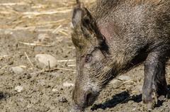 Wild boar eating Kuvituskuvat