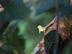 Bizarre wild creature of rainforest Draco Lizard or Gliding Dragon calling mate Stock Footage