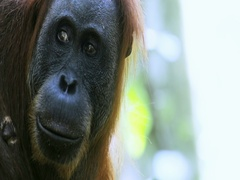 Face and eyes close up view of wild Sumatra Orangutan in rain forest reserve Stock Footage