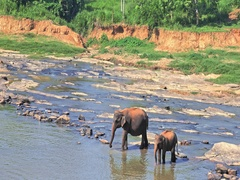 Mother and baby elephants on river bank in Pinnawala orphanage for wild animals Stock Footage