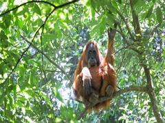 Large wild female orangutan on tree in Sumatra forest. 4K wildlife nature video Stock Footage