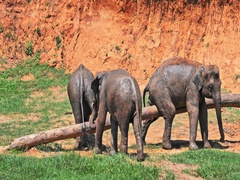 Funny comic animals in wildlife. Elephants rubbing and scratching in Sri Lanka Stock Footage